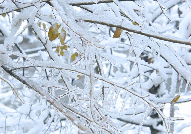 Snow on branches 1 キルギスの冬の朝